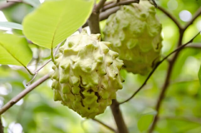 チェリモヤ,バンレイシの値段 価格の相場と旬や栄養成分